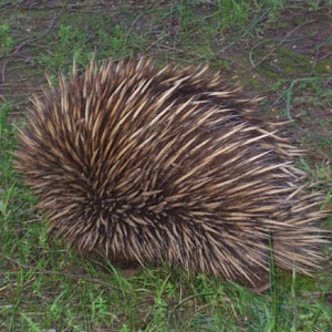 echidna Wanderers Rest Kangaroo Island Holiday Accommodation